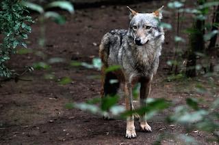 Abbattimento dei lupi: ecco perché anche il WWF dice NO