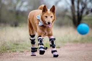 Cani e gatti disabili finalmente possono correre grazie alle protesi