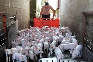 Sfruttamento animale: organi per umani allevati nei corpi dei maiali