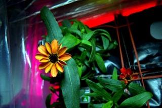 Ecco a voi i primi fiori cresciuti nello spazio