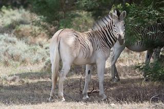 Rau Quagga, torna in Sudafrica il cugino estinto della zebra