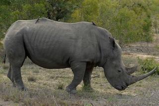 Che fine sta facendo il corno del rinoceronte?