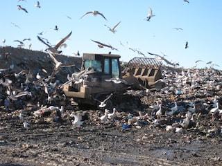 Migrazioni addio, le cicogne preferiscono la spazzatura