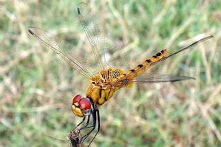7.000 km di viaggio, la libellula è l'insetto che migra più lontano
