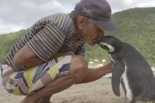 Viaggia 8mila km per salutare il suo salvatore, chi è il pinguino Dindim?
