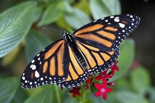 Svelato il mistero della bussola interna della farfalla monarca
