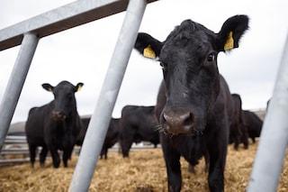 Mucche geneticamente modificate per soffrire meno il caldo: la carne del futuro