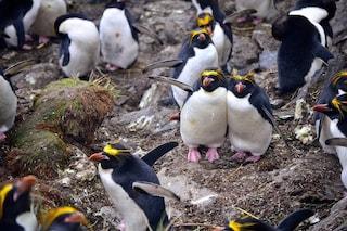 Partecipare al censimento dei pinguini per aiutare la scienza