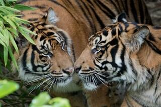 Buone notizie! La popolazione delle tigri è finalmente in crescita