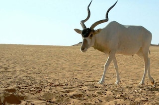 Prepariamoci a dire addio all'Addax, l'antilope del deserto