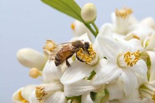 Fiori o fast food? Le api non hanno dubbi