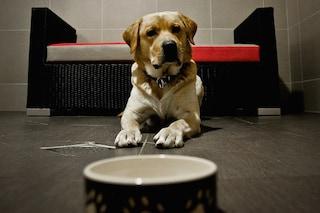 Ecco perché i Labrador sono i cani più grassi e golosi