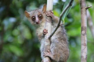 Diamo il benvenuto a tre nuove specie di lemuri Microcebus