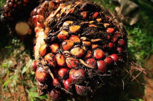 Il frutto della palma è pronto per essere lavorato