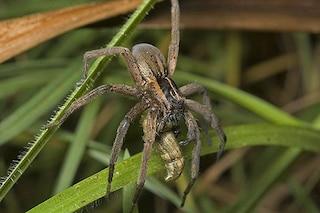 Anche i ragni sanno che i regali fanno bene alla coppia (e alla salute)