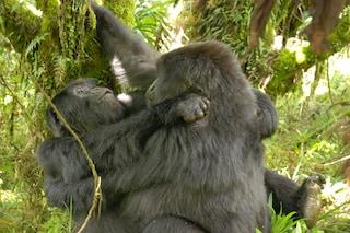 Le femmine di gorilla hanno rapporti omosessuali, la scoperta sorprende