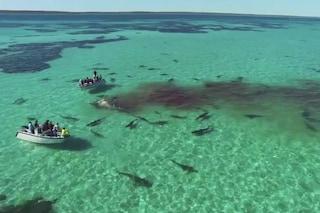 70 squali tigre divorano una balena, ecco le immagini spettacolari