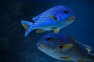 La plastica è il fast food dei pesci e ne influenza il comportamento