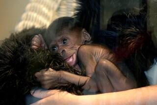 Hurrila e la notizia dell'ibrido umano-gorilla