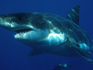 Gli squali bianchi scappano dalle orche: forse non più i predatori più temibili dell'oceano