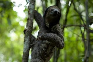 Per i bradipi andare in bagno è una questione di vita o di morte