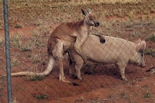 La verità sulla curiosa storia d'amore tra un canguro e una scrofa