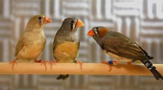 I segreti del linguaggio umano spiegati grazie al canto degli uccelli