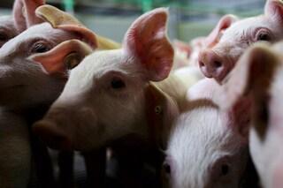 Metà maiali e metà umani, ecco come saranno gli organi del futuro