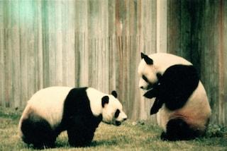 I panda stanno un po' meglio
