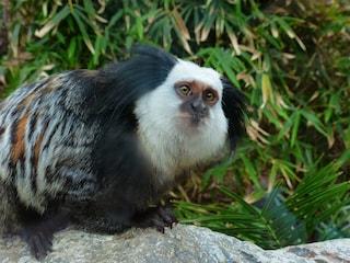 Giappone: creata in laboratorio la prima scimmia col Parkinson