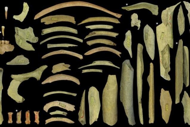 I resti dei cinque individui della grotta di Goyet (Credit: Asier Gómez–Olivencia et al.)