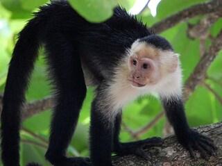La tecnologia delle scimmie cappuccine
