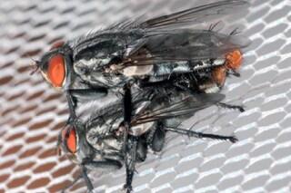 Il canto delle cicale attira gli insetti in cerca di sesso
