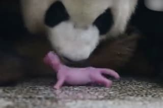 Parto in diretta tv, è nato il primo panda di Shu Qin: ecco le immagini