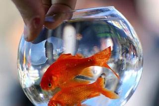 Il pesce rosso vive in un'ampolla? 100 euro di multa e scoppia la polemica
