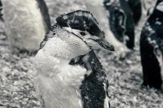 L'eruzione di un vulcano minaccia 1,2 milioni di pinguini soffocati dalla cenere