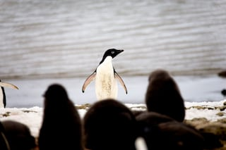 I pinguini di Adelia potrebbero scomparire ed è solo colpa nostra