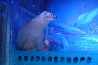 Pizza, l'orso polare rinchiuso in un centro commerciale per farsi i selfie