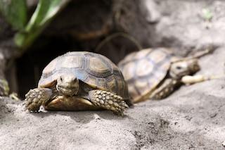Scoperto a cosa serviva in origine il guscio delle tartarughe