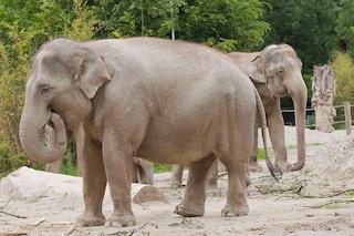 L'essere umano è in media più grasso di un elefante (lo dice la scienza)