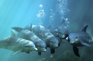 """""""I delfini parlano tra loro"""", scoperto il linguaggio segreto simile a quello umano"""