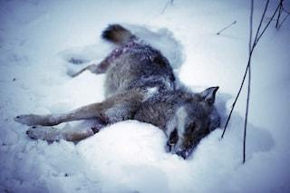 """La Norvegia promuove la caccia: """"Uccidere 7 lupi su 10, in totale 47"""""""