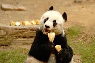 È morta Jia Jia, il panda gigante più vecchio del mondo: aveva 38 anni