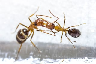 Un bacio vale più di mille parole: così le formiche decidono chi saranno da adulte