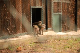 16 macachi salvati dalla sperimentazione in Italia, ecco dove vivono adesso