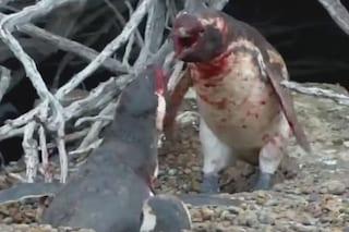 Il pinguino scopre la compagna con un altro e scoppia una violenta rissa