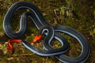 Ti 'frigge' i nervi e ti uccide, ecco chi è il serpente con il veleno più terrificante