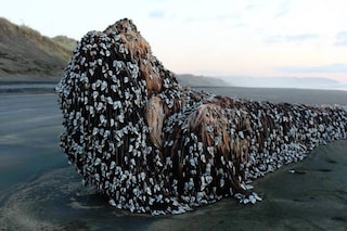 Nessun mostro ha invaso la Nuova Zelanda, ecco cosa sono questi animali in foto