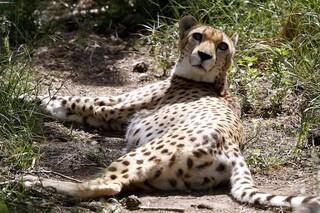Abbiamo ucciso quasi tutti i ghepardi: ne restano solo 7100