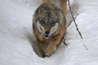 I lupi della Norvegia sono (quasi) tutti salvi: stop ai cacciatori dal governo